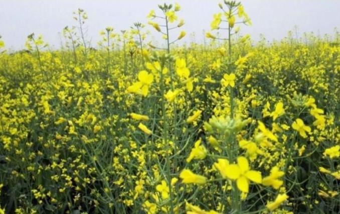دزفول در تولید بذر کلزای هیبریدی ، کشور را به خودکفایی رساند