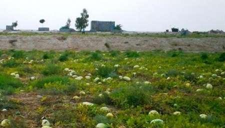 70 درصد محصول هندوانه دزفول بر اثر تنش آب وهوایی از بین رفت